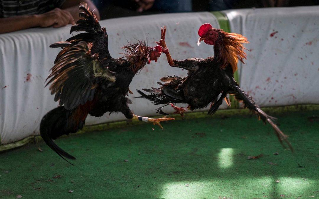 Ministerio de Deportes prohíbe las peleas de gallos que se celebraban de manera virtual